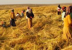 Karacadağ pirinci belgesel oluyor