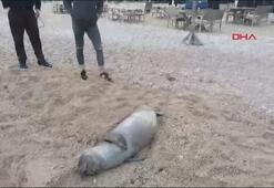 Akdeniz foku ölüsü kıyıya vurdu