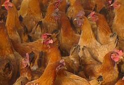 Dünyayı korkutan gelişme 100 binden fazla kümes hayvanı itlaf edildi...