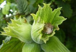 Fındıkta kahverengi kokarca tehdidine çözüm arayışı