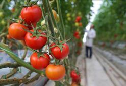 Salkım domates çiftçinin yüzünü güldürüyor