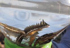 Su ejderhası sandıkları hayvan şeritli semender çıktı