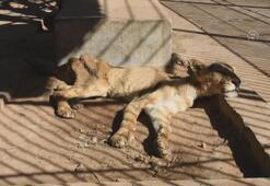 Açlıktan ölmek üzere olan aslanlara hayvanseverler sahip çıktı