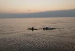 Acıkan yunuslar sahilde balık avladı