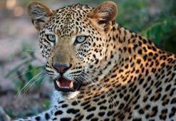 Eski ordu mensubu, leopar saldırısında hayatını kaybetti