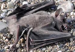 Gazipaşada sahilde 2 yarasa ölüsü bulundu