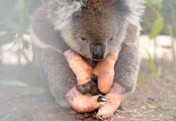 Avustralyada kereste için onlarca koala öldürüldü