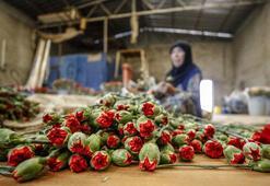 Sevgililer Günü için 50 ülkeye 60 milyon dal çiçek ihraç edildi