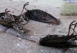 Edirnede korkutan kuş ölümleri İşte sebebi...