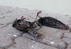 Hava sıcaklığı düştü, kuşlar donarak öldü