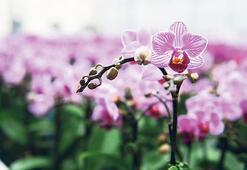 Sevgiliye Adana orkidesi