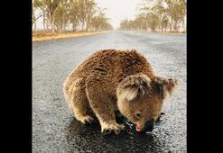 Orman yangınları Avustralyada 113 canlı türünü acil yardıma muhtaç hale getirdi