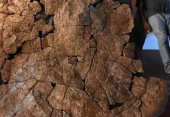 Araba büyüklüğünde kaplumbağa fosili bulundu
