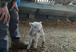 Yeni doğan kuzu anne diye meledi