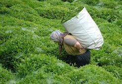 Çay üretilen Rize, en çok çay ithal edilen il çıktı