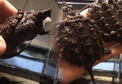 Sosyal medyada satışa çıkarıldı Timsah yiyen kaplumbağalara el konuldu
