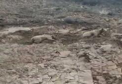 Boz ayı yavrularıyla karayoluna indi