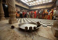 Binlerce farenin yaşadığı tapınak Karni Mata