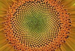 Altın Oran Nedir, Nerelerde Kullanılır Altın Oran Örnekleri Nelerdir