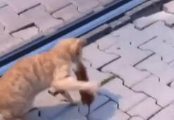 Asabi fareyle peşine düşen kedinin kavgası kamerada