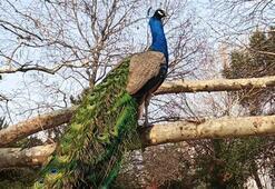 Mahalleyi tavus kuşları sardı Her yerdeler...