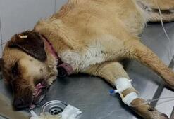 Korkunç iddia 7 köpek zehirlendi