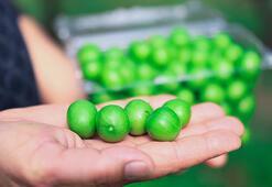 Dubaiye kilosu 500 liradan yeşil erik