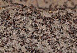 Karınca istilası hangi ülkede oldu Karınca İstilası neden olur