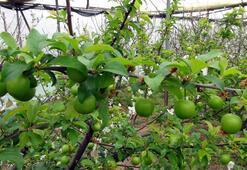 Silifke'de erik hasadı başladı...750 liradan satılan eriğin fiyatı 200 liraya düştü
