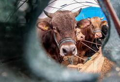 Canlı hayvan ve hayvansal ürün fiyatları