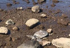 Muğlada ölü caretta caretta sahile vurdu