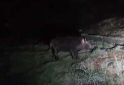 Aç kalan yaban domuzu Arnavutköyün merkezine indi