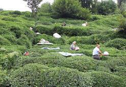 40 bin çay işçisi gelemiyor, 100 milyon dolar üreticiye kalacak