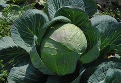 Beyaz lahana tarlada hasat bekliyor