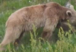İlçeler korona sessizliğine büründü, meydan ayılara kaldı