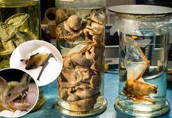 Son dakika haber: ABD o laboratuvarı araştırıyor: Corona virüs ve yarasalar...