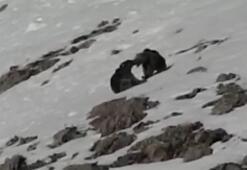 Boz ayıların kar keyfi tebessüm ettirdi