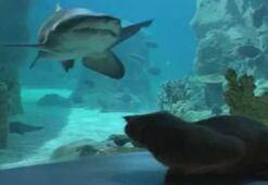 Gizlice İstanbul Akvaryuma giren kedinin balıkları amansız takibi kamerada