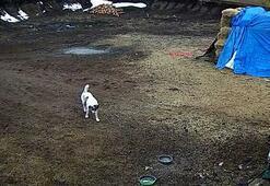 Çiftliğe inen kurt sürüsü, çoban köpeklerinin hışmına uğradı