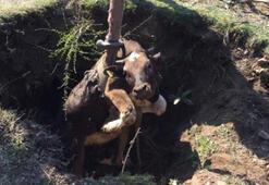Define çukuruna düşen inek kurtarıldı