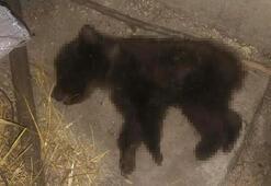 Köpeklerin saldırısına uğrayan yavru ayı öldü