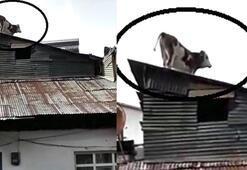 Bayburtta ilginç görüntü kamerada...Çatıda gezen inek şaşırttı