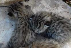 Diyarbakır'da yaban kedisi yavruları görüldü