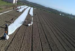 Bafra Ovasında karpuz ekimi başladı