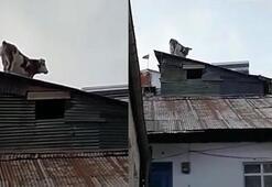 Çatıdaki ineği görenler şaşkına döndü
