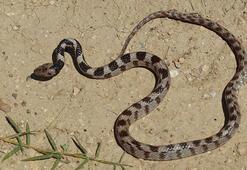 Yılan uyarısı: Doğa canlanıyor, öldürmeyin