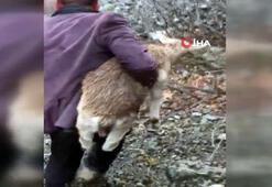 Erzincanda bir vatandaş hasta dağ keçisi yavrusunu 4 kilometre sırtında taşıdı