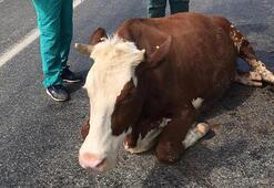 Yaralanan inekler kaza yerinde kesildi