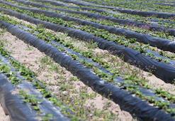 Çilek üretiminde talebe yetişemeyince profesyonel tarıma geçti