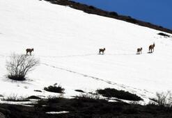 Koruma altındaki çengel boynuzlu dağ keçileri böyle görüntülendi